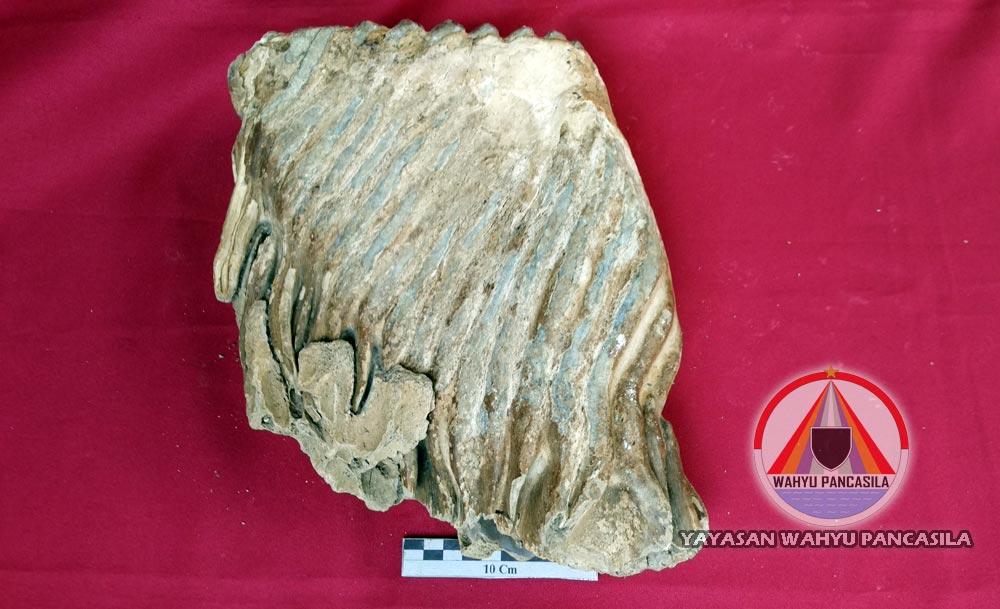 Fosil Gigi Gajah Purba DAS Lukula